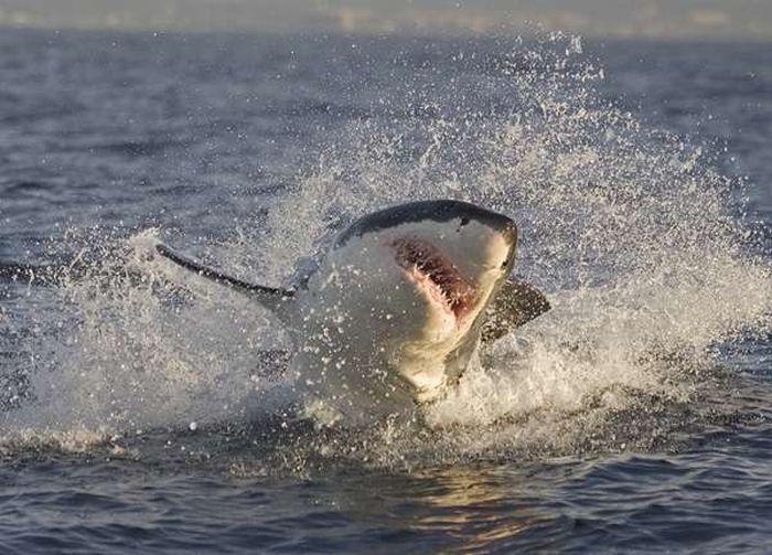 Hunting Sharks (25 pics)