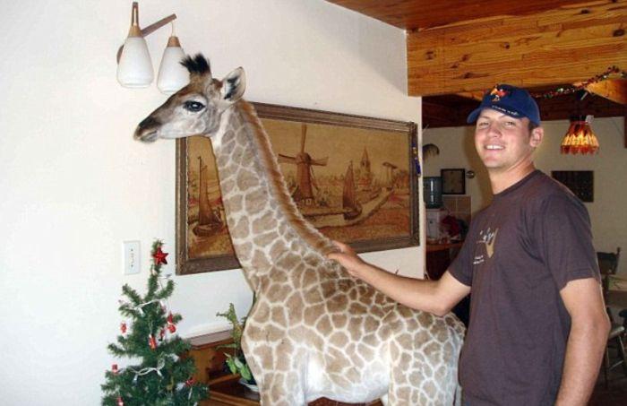 Pet Giraffe (10 pics)