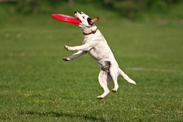 Dogs Catching Frisbees (20 pics)