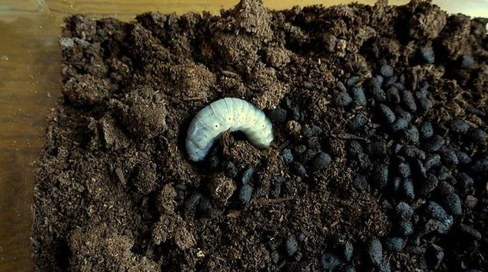 The Life of a Hercules Beetle (55 pics)