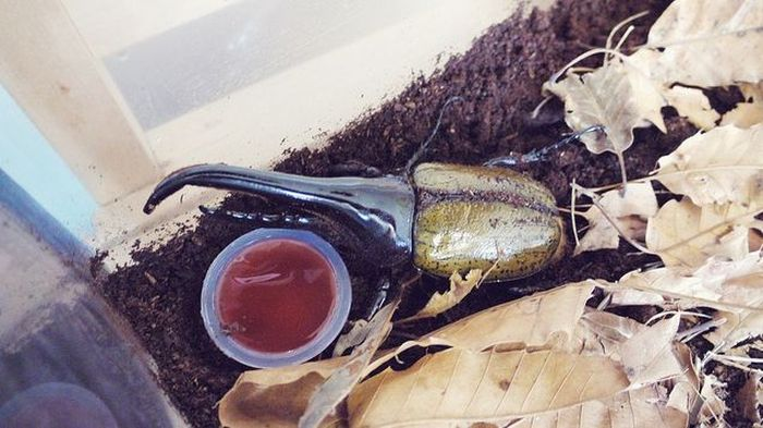 The Life of a Hercules Beetle (55 pics)