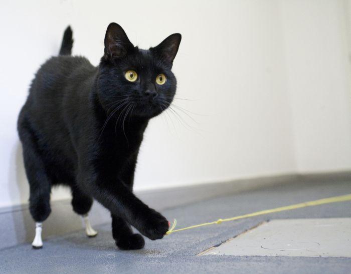 Cat with Prosthetic Legs (10 pics)