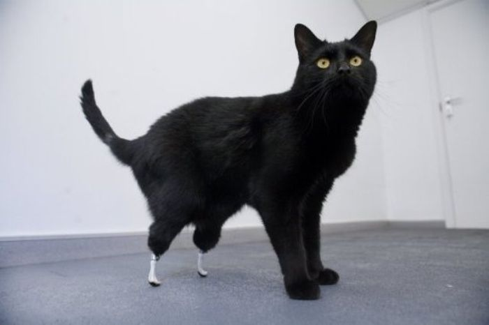 Cat with Prosthetic Legs (10 pics)