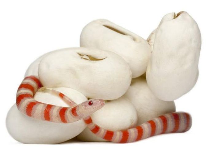 Baby Milk Snake Hatches from Egg (13 pics)