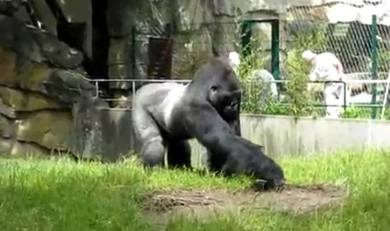 Gorilla Trolls Cleaner Guys in The Zoo