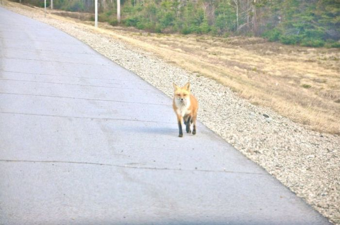 Hungry Fox (5 pics)