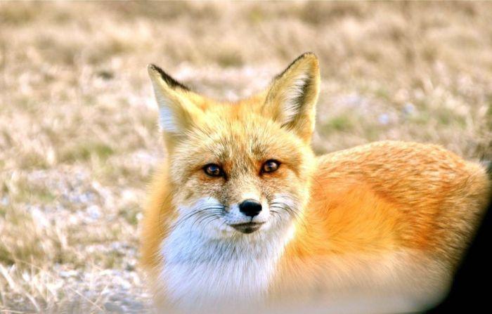 Hungry Fox (5 pics)