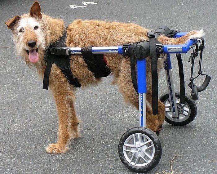Displacia de cadera en perros. Tratamientos. Sillas de rueda