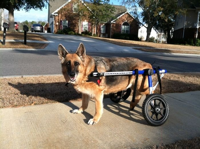 Handicapped Dogs (21 pics)