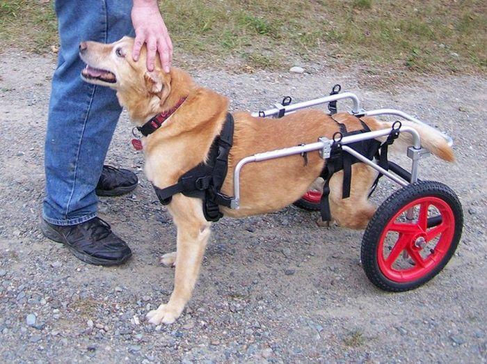 displacia de cadera canina