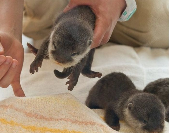 Adorable Baby Otters (10 pics)