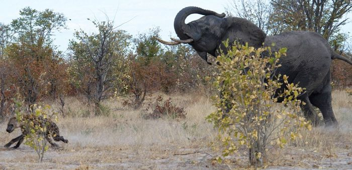 Elephant vs. Hyenas (7 pics)
