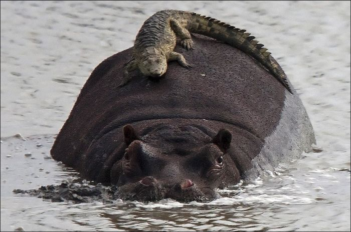 Crocodile Riding Hippo (2 pics)