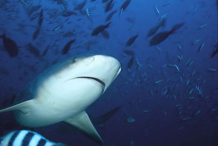 Photos of the Bull Shark (26 pics)