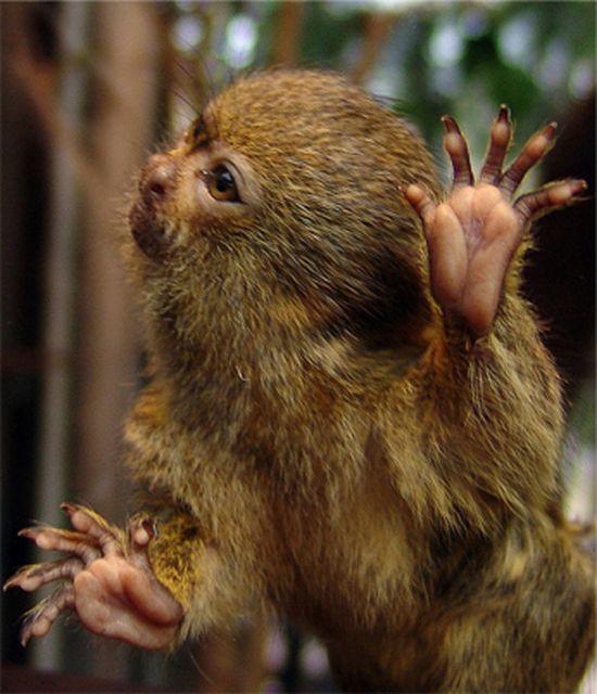 Pygmy Marmosets (12 pics)