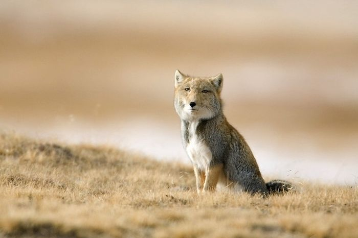 Tibetan Fox Has an Awesome Facial Expression (4 pics)