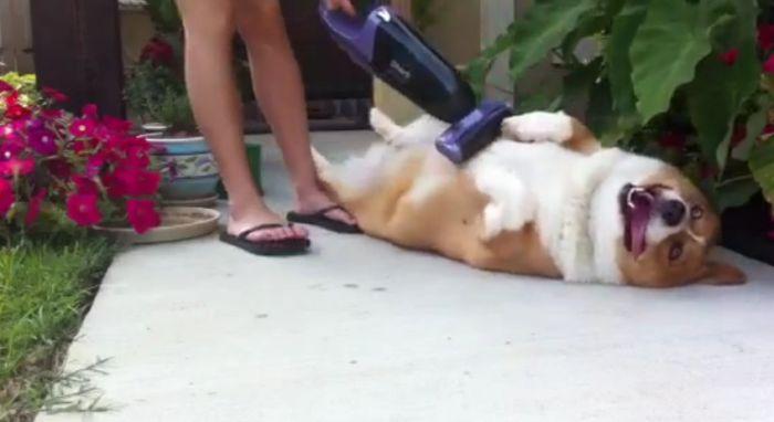 How to Vacuum Your Corgi (14 pics)