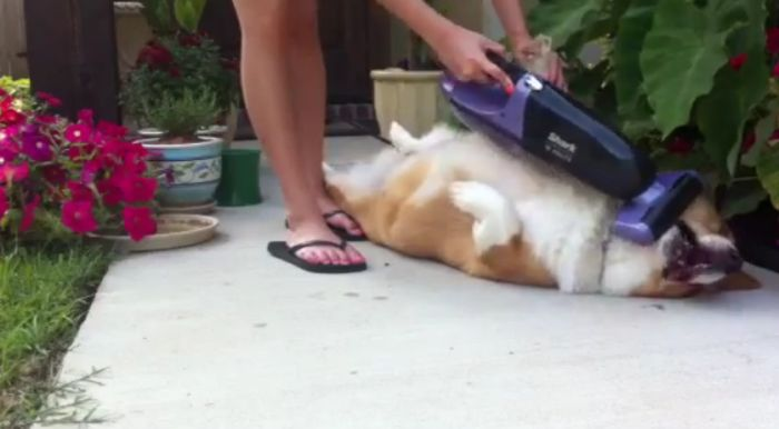 How to Vacuum Your Corgi (14 pics)