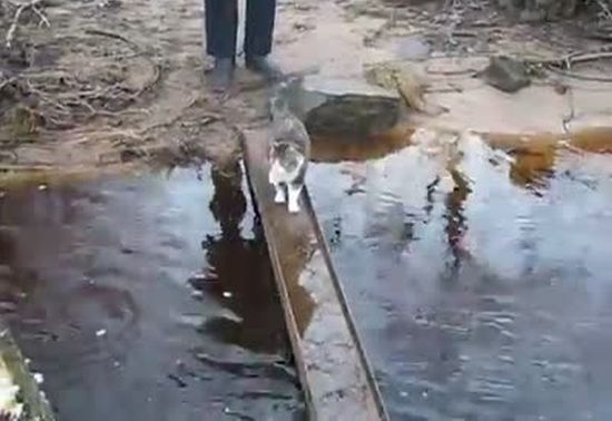 Funny Cat Crossing The River