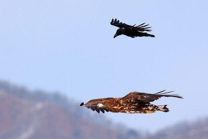 Crow Riding an Eagle (4 pics)