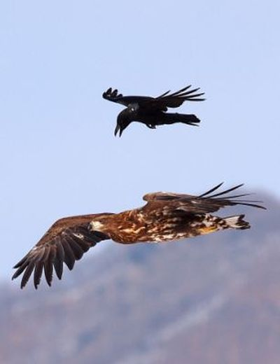 Crow Riding an Eagle (4 pics)