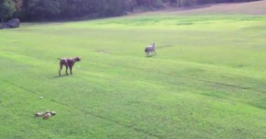 Amazing Dog vs Wolf