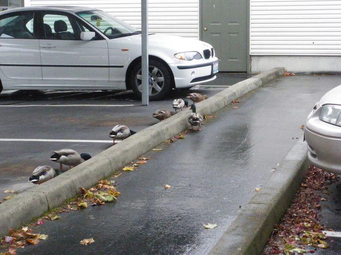Ducks on Park Spaces (41 pics)