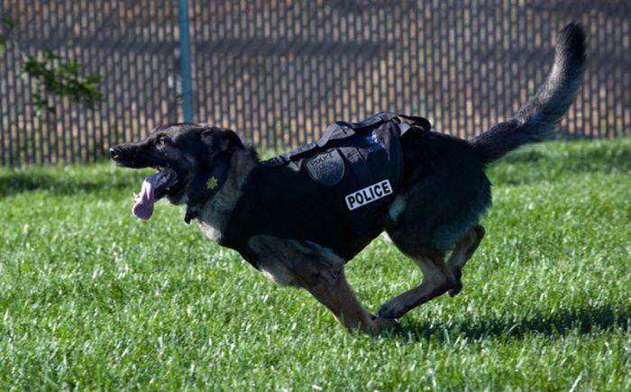 Sacramento Police K-9 Officer Named Bandit (22 pics)
