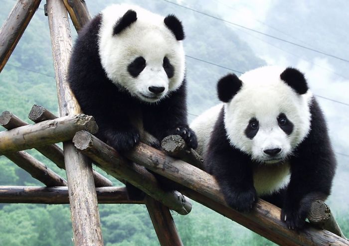 Pandas at Sichuan Giant Panda Sanctuaries (40 pics)
