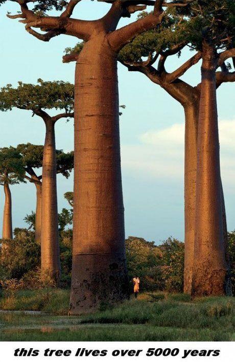 Baobab Tree Is Amazing (12 pics)