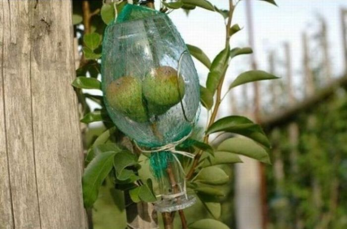 How to Put a Whole Fruit into a Bottle (8 pics)