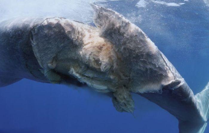Blue Whale Killed by a Ship (4 pics)