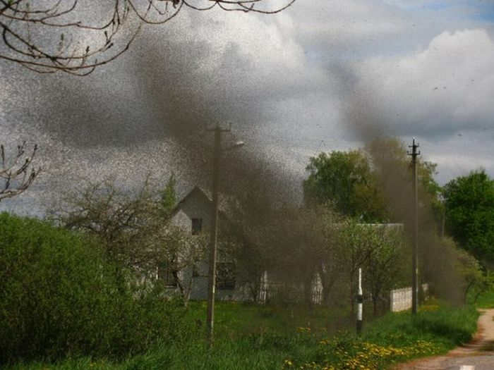 Swarms of Mosquitoes Over a Village in Belarus (18 pics)