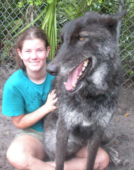 Pet Wolf Yuki (9 pics)