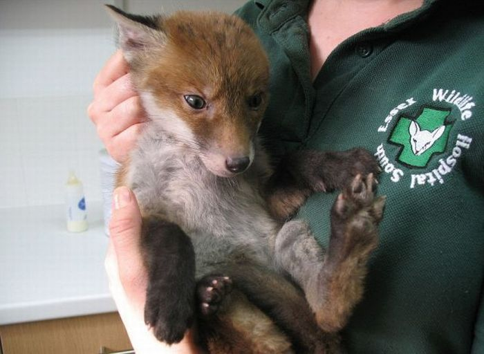 Fox Stuck In Mud Rescued (3 pics)
