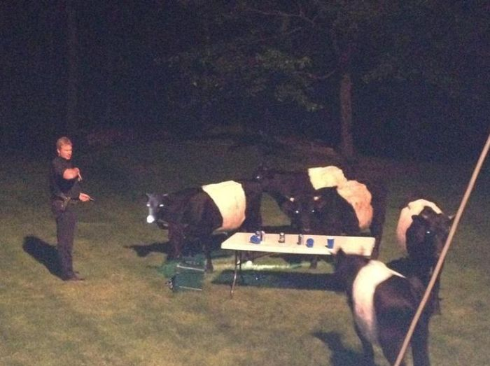 Cows Crashed a Backyard Beer Party (5 pics)