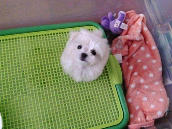 Maltese Pupppy Oscar (8 pics)