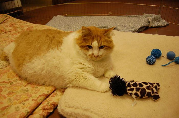 40-Pound Cat (17 pics)
