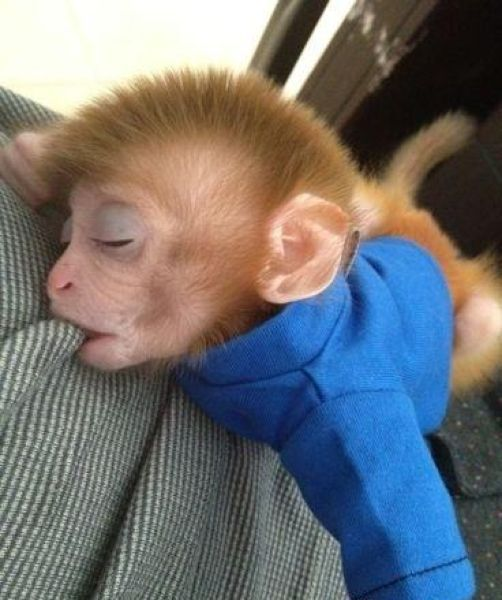 Pet Monkey (9 pics)