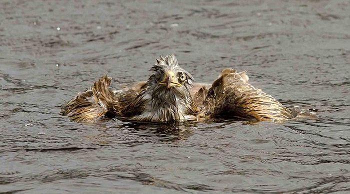 Kite Ducked Goose (4 pics)