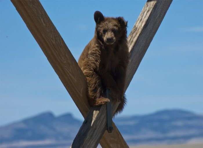 Extreme Climbing Bear (3 pics)