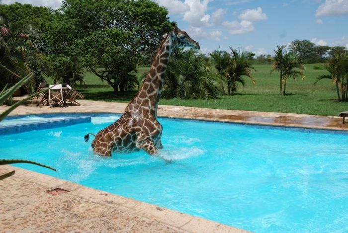 Giraffe Swimming in a Pool (6 pics)