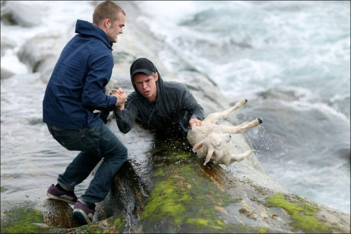 Saving a Lamb That Fell Down into the Sea (6 pics)