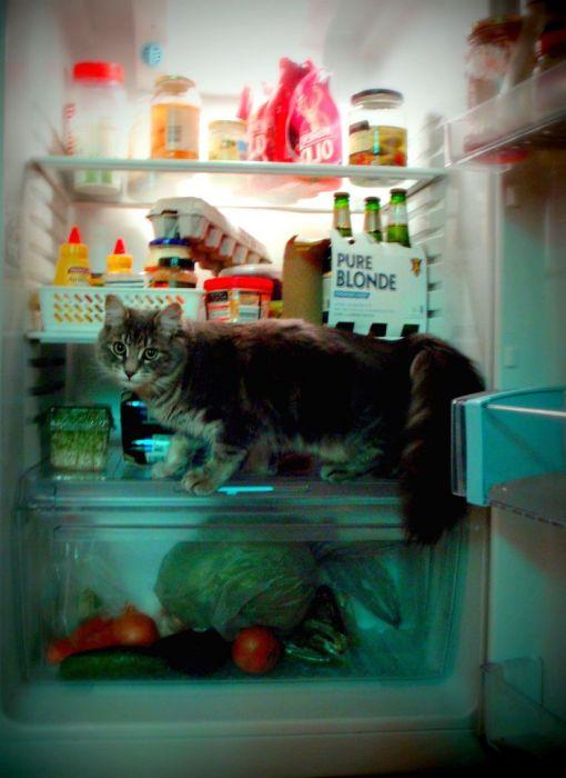 Cats in Refrigerators (30 pics)