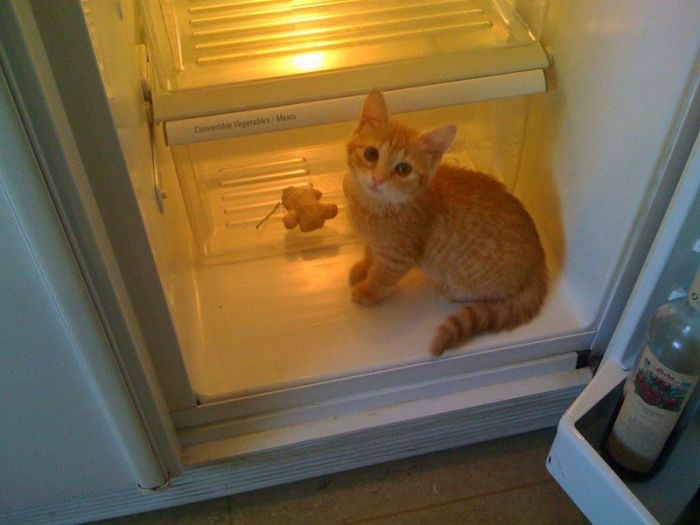 Cats in Refrigerators (30 pics)