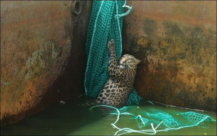 Leopard Rescued by the Net (6 pics)