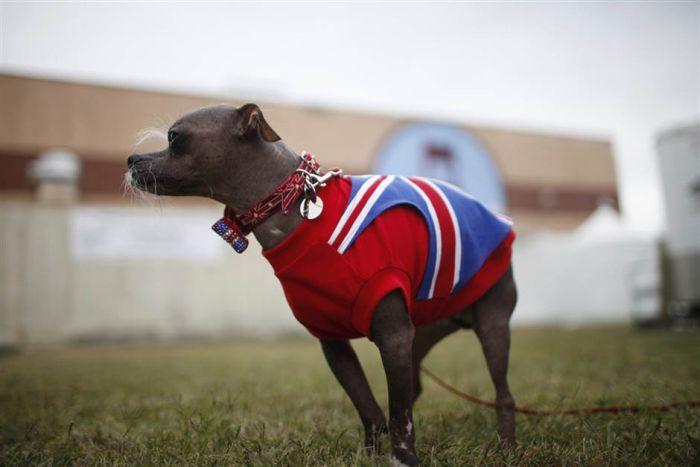 The World's Ugliest Dog 2012 (16 pics)