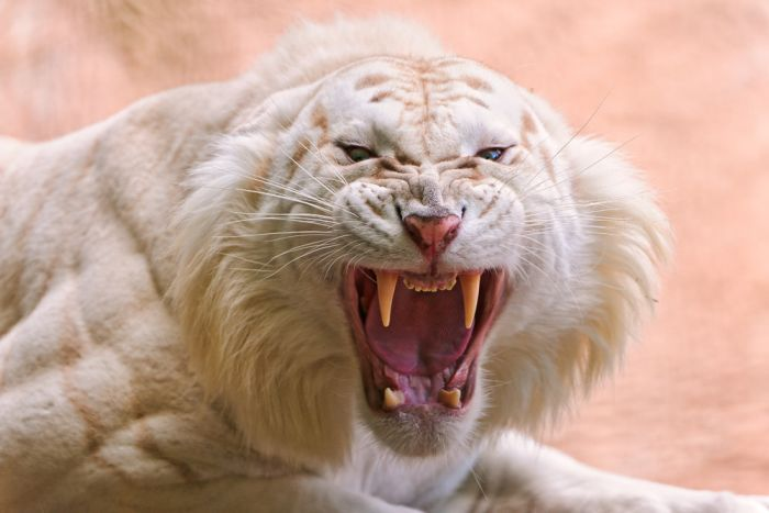 The White Tiger (24 pics)