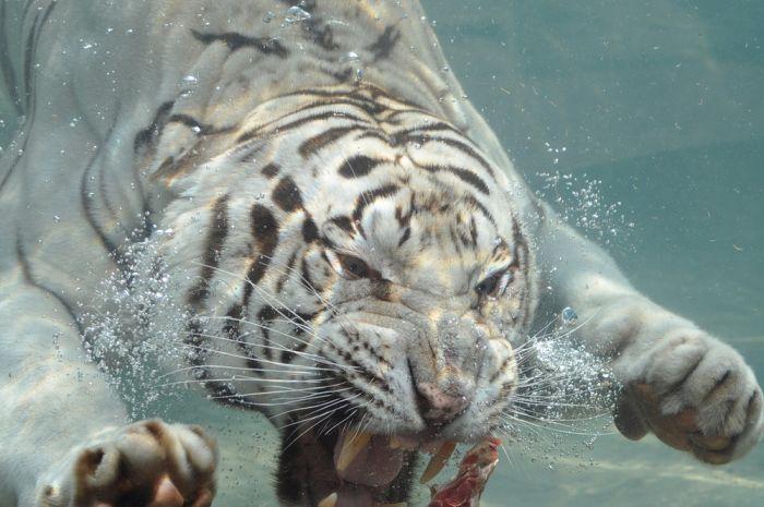 The White Tiger (24 pics)