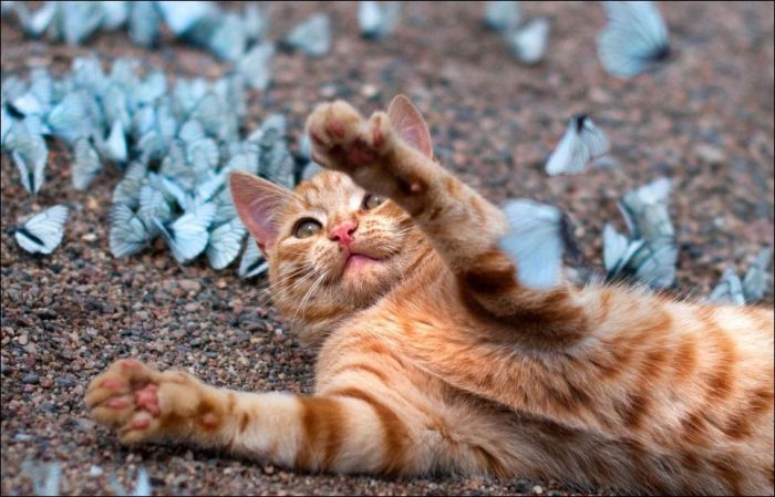 Cat Playing with Butterflies (5 pics)